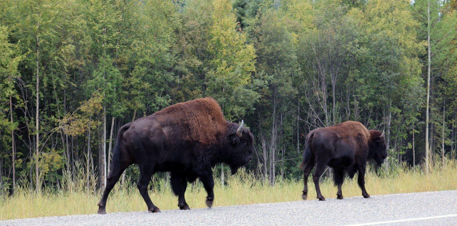 Alaska Highway Bison.jpg